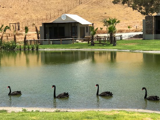 We sat outside, overlooking the pond, and were surprised to see black swans cruising by.