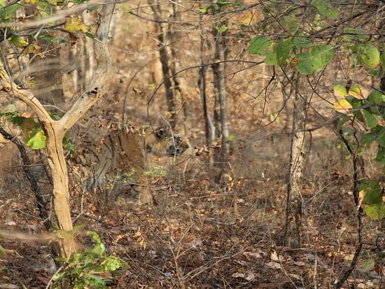 Seoni District, India: Tiger Sighted in Pench