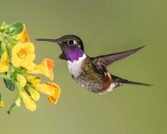 Purple-throated Woodnymph