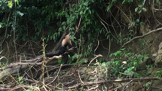 Gamboa Rainforest Resort Chagres River Boat Tour: Monos Capuchinos