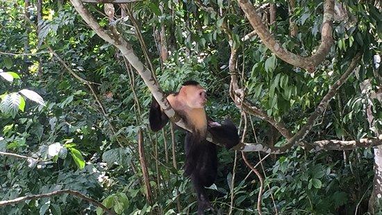 Gamboa Rainforest Resort Chagres River Boat Tour: Mono Capuchino, líder de su manada