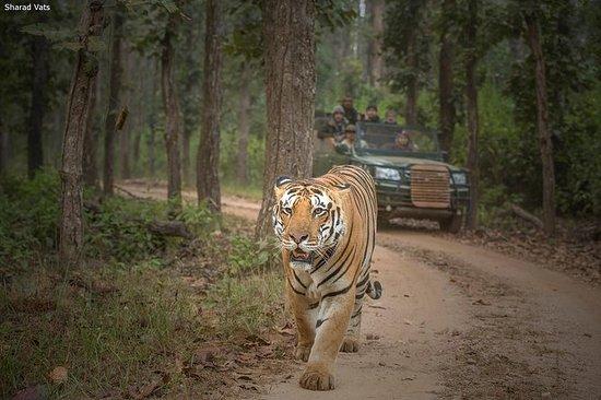 Bare Tigers-tur