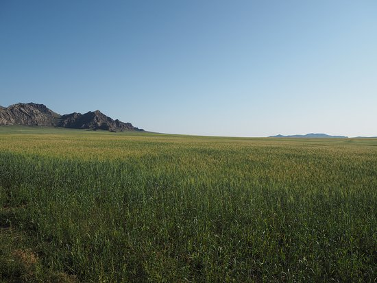 Ulaanshiveet, Mongolie : The Wheat Field