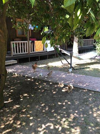 Caretta Caretta Pension: Chickens in the garden