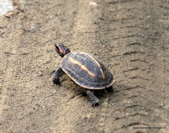 Tricanate Hill Turtle, an endangered turtle found in Corbett