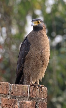 Crested Serpent Eagle - it has been nesting right in the premisesl of the Lodge for few years