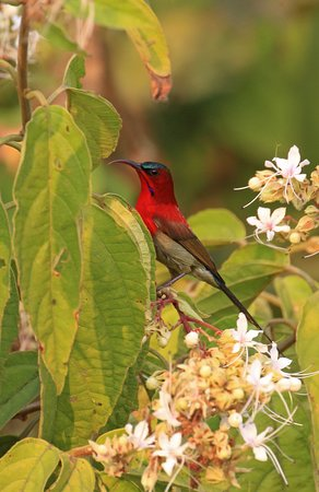 Crimson Sunbird, one of the most beautiful vocal sunbirds also nests within the property
