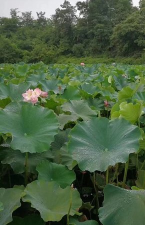 Lotus fields in Holland Scenic Spot, Chongqing