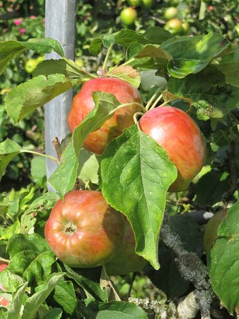 Ripe Apples - Osborne House Walled Gardn