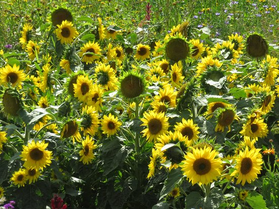 Sunflowers at Osborne House Walled Garden