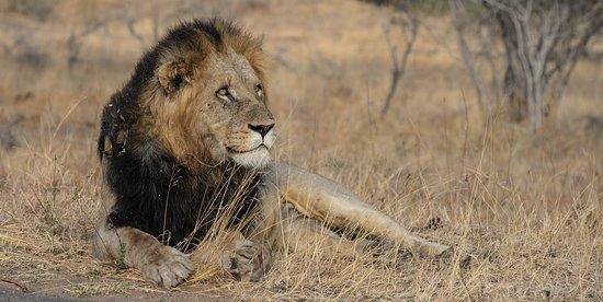 Khakiweed Photographic Safaris: Kruger Lion