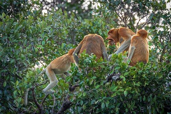 Tanjung Puting National Park: Proboscis Monkeys along Sekonyer River