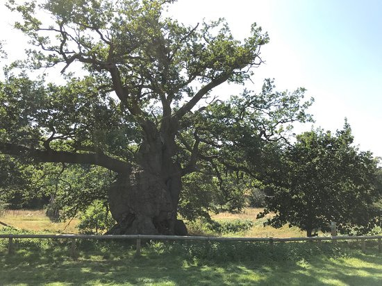 Tree where Elizabeth received the throne of England