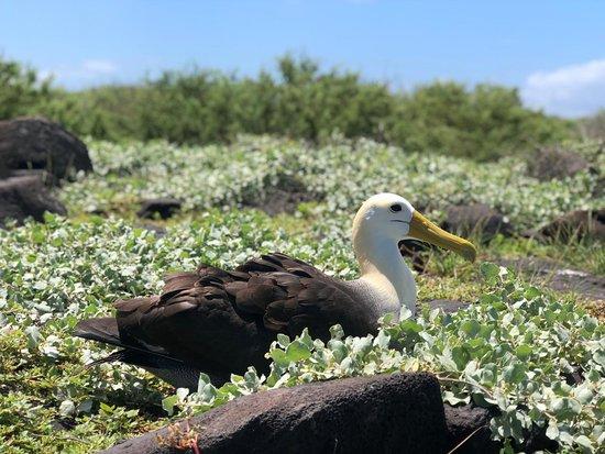 Espanola, Ecuador: the albatross nesting in española