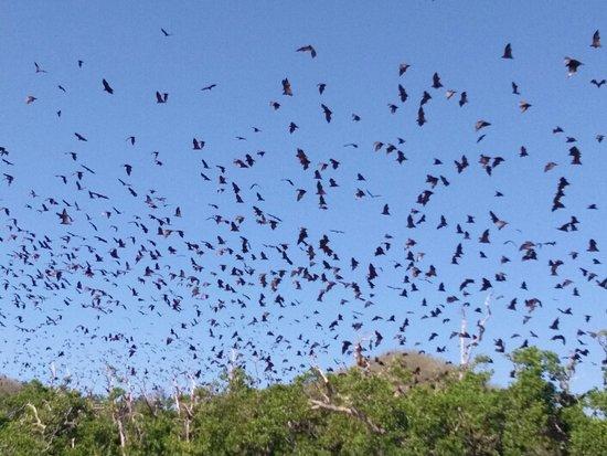 Riung, Индонезия: Fruit Bats