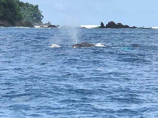 Observación de ballenas durante el tour de snorkel, cerca de Isla del Caño