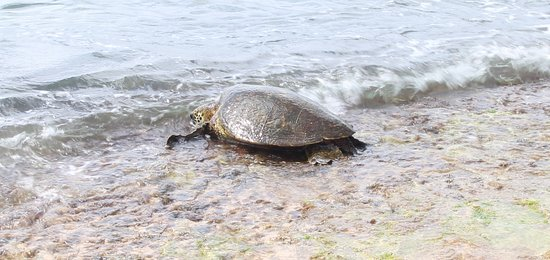 Green Turtle at Turtle Beach