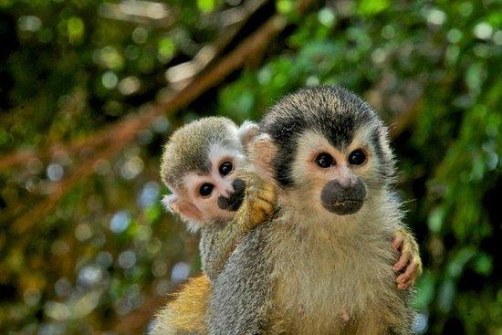 マングローブの猿がカヤックまたはモーターボートに乗る
