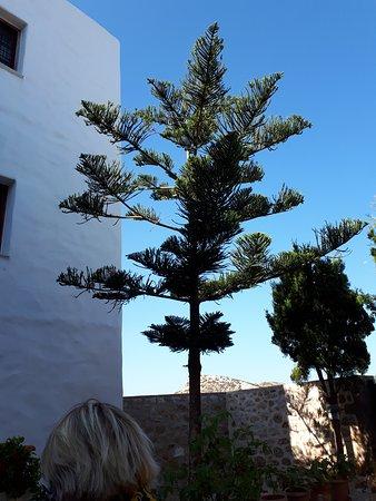 Μόνη Αγίου Γεωργίου Σκυριανού: Un joli arbre ? Belle forme.