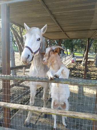 Santa Ynez Valley, แคลิฟอร์เนีย: Welcome to Hacienda Amador ! We are Cacique and Guapo rescued friends at the ranch in Santa Ynez. Come and visit us. We have a farm stay or just spend a relaxing afternoon.  Email us at haciendaamador@gmail.com