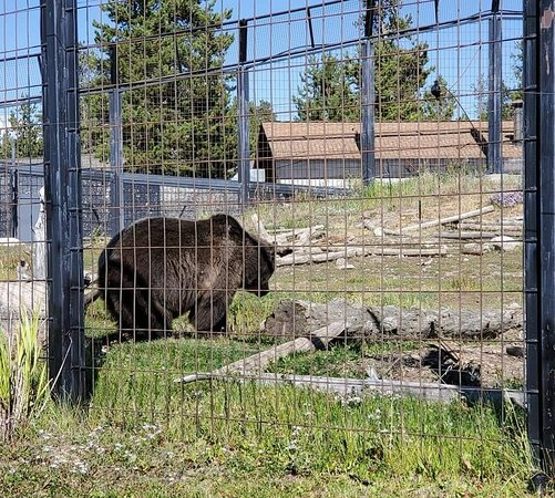 Grizzly and Wolf Discovery Center (West Yellowstone) - 2019