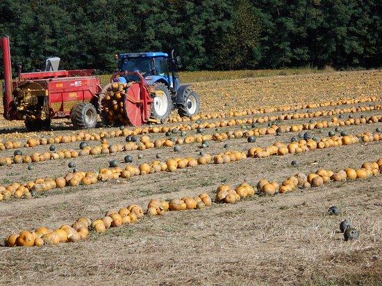 Grad, Slovenia: Pumpkin field