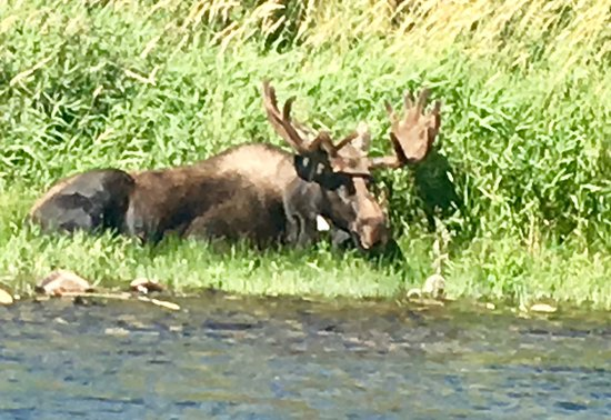 Fly Fishing Day Trip: Close encounter with Bull Moose during float trip, August, 2019!