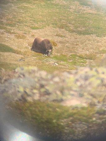 Foto de Safari de buey almizclero en el Parque Nacional de Dovrefjell desde Oppdal