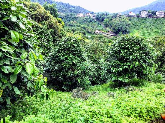 Ci lin Lake: 間作蘋婆樹與茶樹的有機茶園