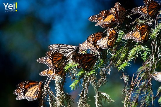 Monarch Butterfly Tour (avgang fra...