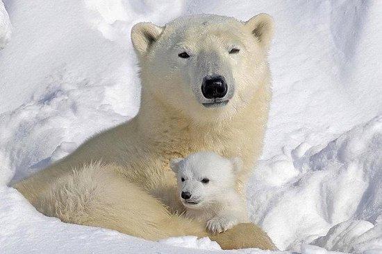 最好的私人游览动物园与罗瓦涅米的北极熊