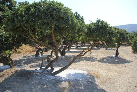 Armolia, Hellas: Sakız Ağaçları