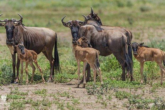 Gnukalbensaison Februar & März | 8 Tage: Calving Season Ndutu & Migration Safari | 8 Days