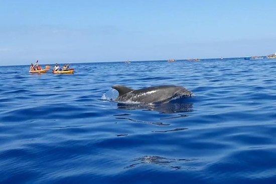 Safari en kayak avec dauphins et...