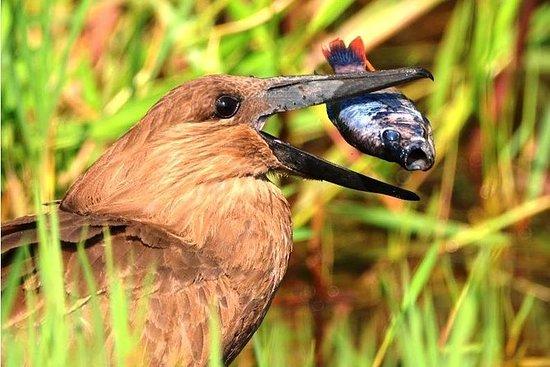 1日ハシビロコウ鳥-日帰り旅行-マバンバ沼
