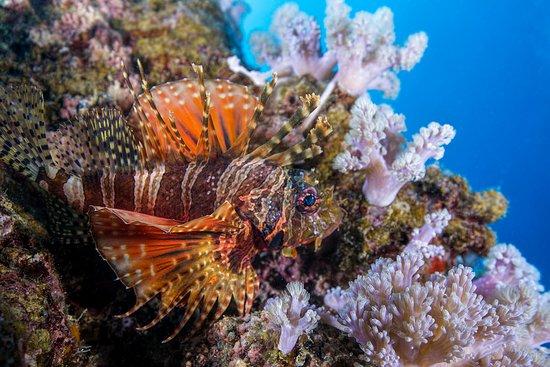 بيريبير: Thomas Vignaud's exquisite pic of a 2 spot lion fish in Mauritius