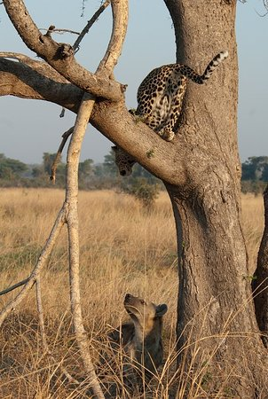 The predator sightings in South Luangwa's Nsefu Sector are heating up.