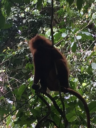Sandakan Division, Maleisië: We were in the Guamantong cave for a short visit. When we walked in from the walk way, we saw many red Leaf monkeys very closed to us and jumped up and down from the trees. During our walked in further down, suddenly we heard some noises came from sidewalks and we spotted 3 big and 1 baby orangutans on the big trees hanging. They looked very amazing and cute. We were luckiest to meet up those monkeys and especially the orangutan. No regret to visit here. Cheers....