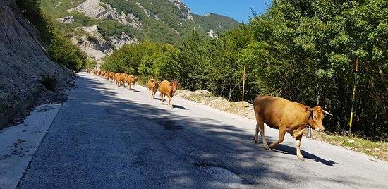Alimena, Italy: High altitude meeting🐄