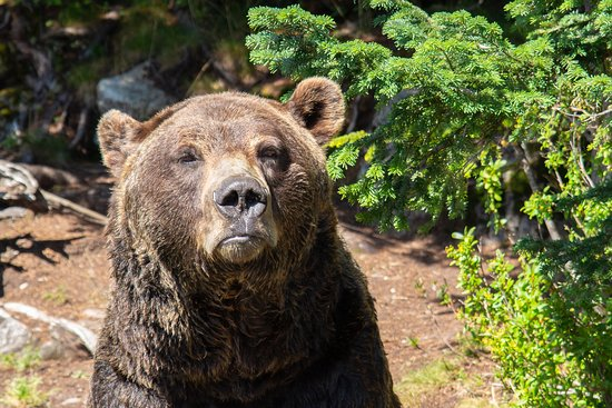 Grouse Mountain Admission: Bear at Grouse Mountain