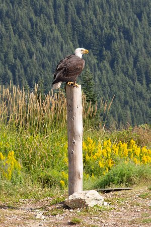 Grouse Mountain Admission: Bird of prey show