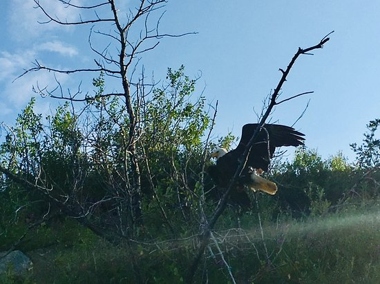 Paxson, AK: There's that eagle....it finally flew off and I got it!