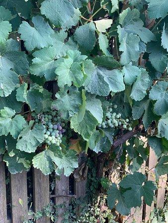 Koiliomenos, Kreikka: Винодельня