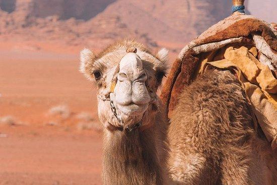 Sunset Excursion | Wadi Rum Desert: Sunset Camel Ride in Wadi Rum Desert