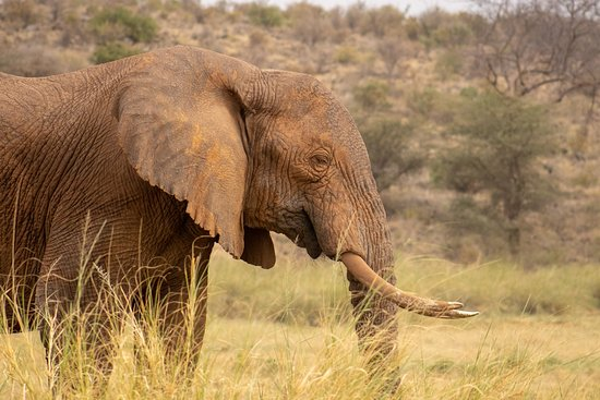 Samburu National Reserve, Kenya: Samburu elephant. An exceptional sight when you visit Samburu National Park in Kenya.