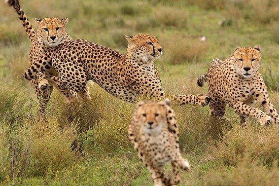 Gnukalbensaison Februar & März | 8 Tage: Calving Season & Migration Safari | 8 Days