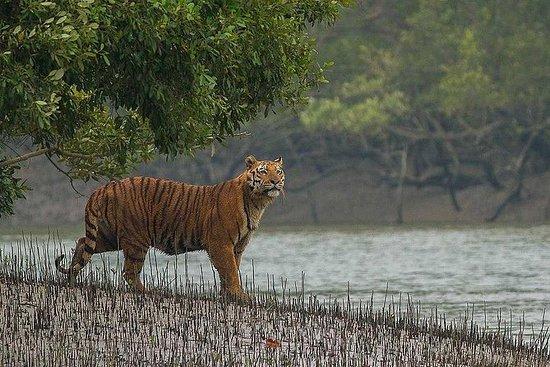 Sunderban Mangrove Wetland - Tiger
