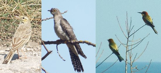 Durankulak, บัลแกเรีย: Some of the birds I saw and photographed with my bridge camera: Tawny Pipit, Cuckoo, Bee-eater