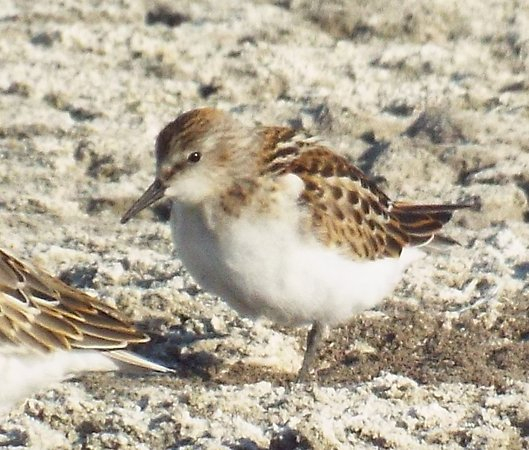 Durankulak, บัลแกเรีย: The Little Stint, seen among a wealth of waders at the nearby Shabla Tuzla Lake