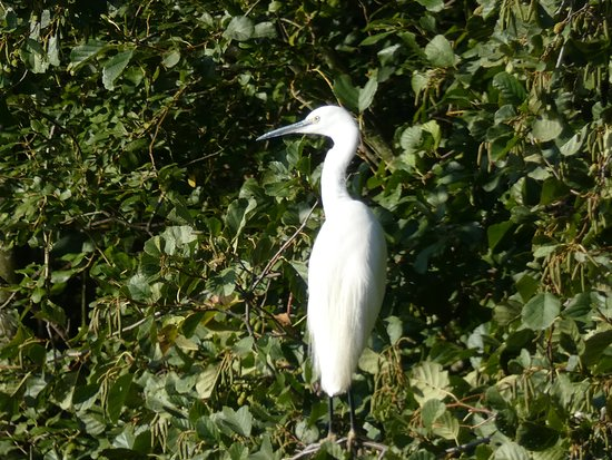 Fingringhoe, UK: Little Egret in the trees by the lake